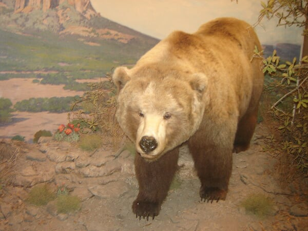 Dallas Museum of natural History - Grizzly