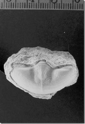 IllaenusCrassicaudaPygidium